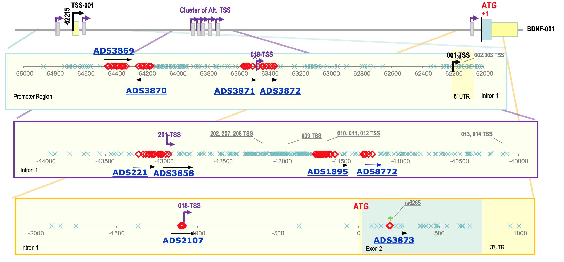 Human BDNF Gene Structure